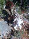 Bientôt les fromages de chèvres et brousses du Rove !