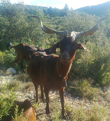 Chèvre du Rove